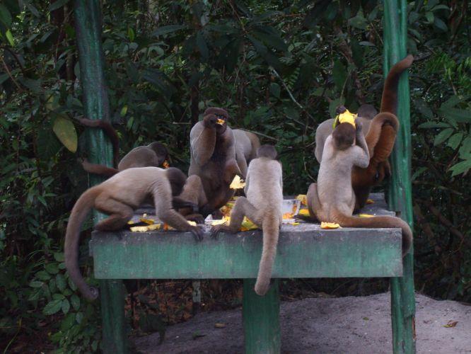 Macacos-barrigudos