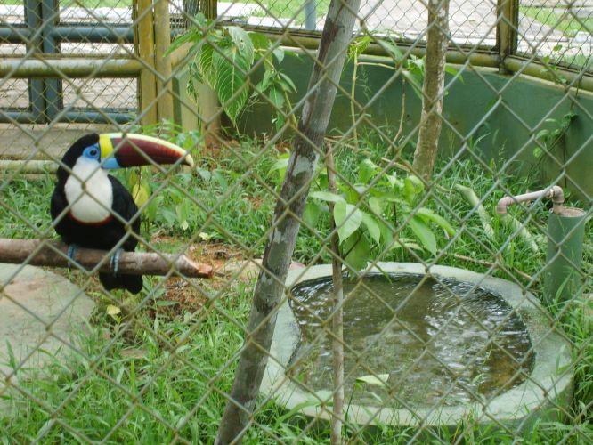 Tucano no Zoológico do Cigs