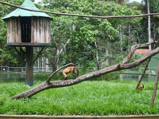 Macacos brincam no Zoológico do Cigs