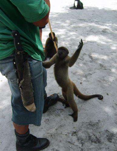Macaco-barrigudo