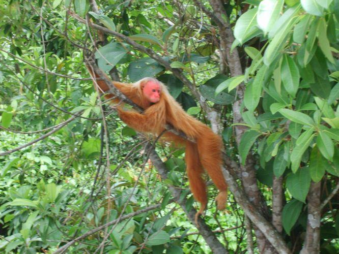Macaco-da-cara-vermelha
