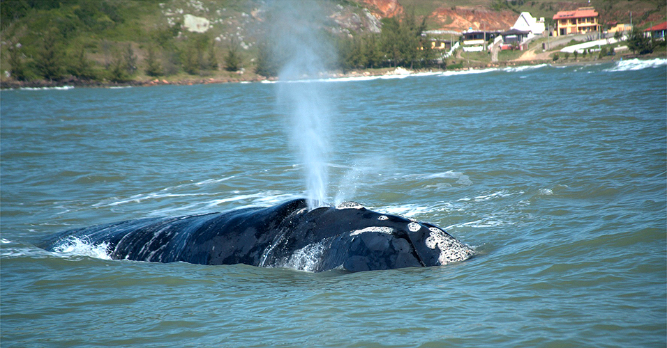 Baleia franca