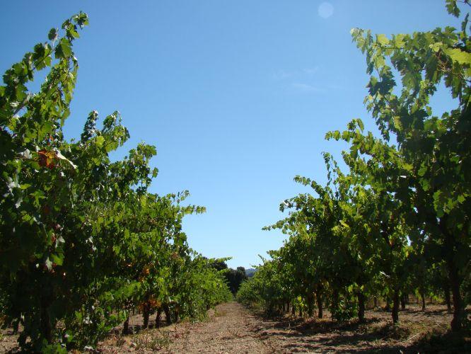 Vinhas de Sonoma
