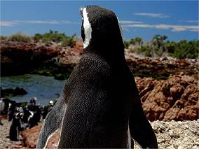 Pingüins em Punta Tombo, a maior colônia continental de pingüins do planeta