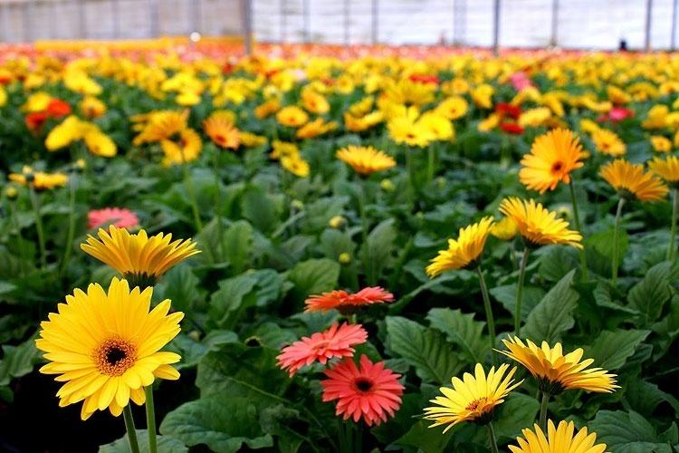 Conhecida Como Cidade Das Flores Holambra Sp é Pura